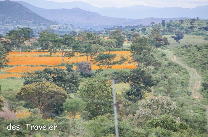 Marigold fields near Bandipur National Park