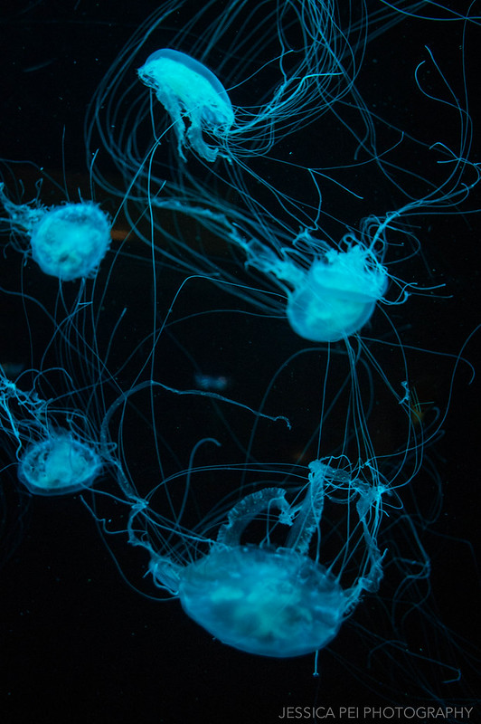 "Glowing Jellyfish ""Sea Jellies"" in Chicago Shedd Aquarium"