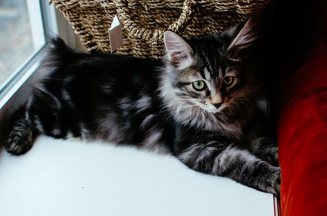 Kurilian Bobtail Cat Pictures And Information