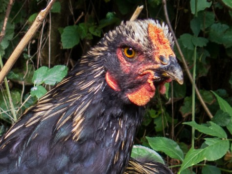 Portret of a rooster