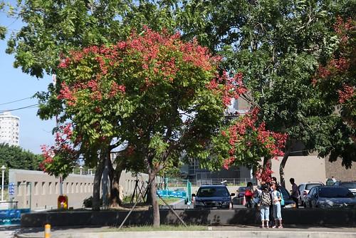 秋天的台灣欒樹,多情多色彩