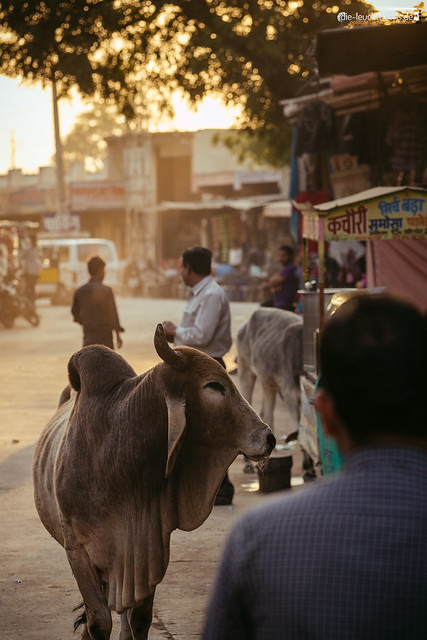 In India, cows belong to the cityscape