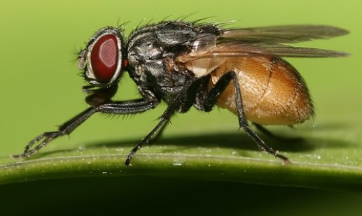 Housefly_musca_domestica_cropped_(2)