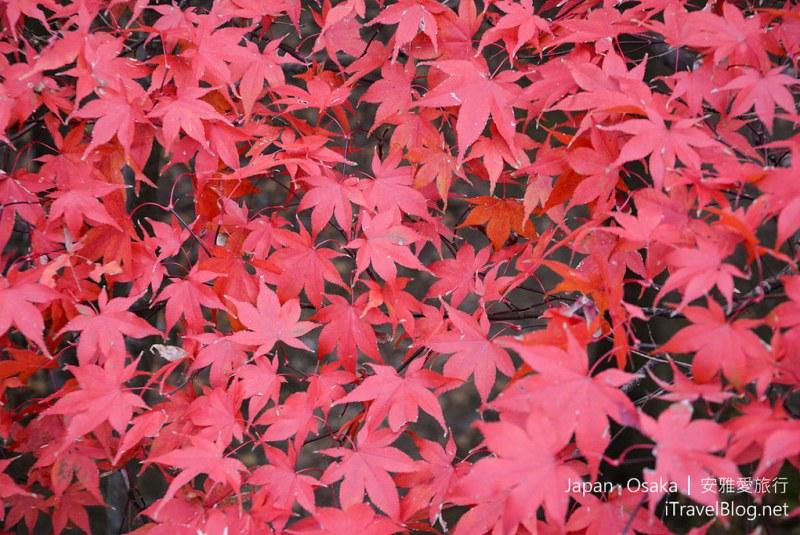 大阪赏枫 万博纪念公园 红叶庭园 29