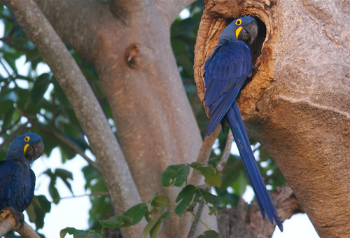 Hyacinth Macaw, south Pantanal, Brazil