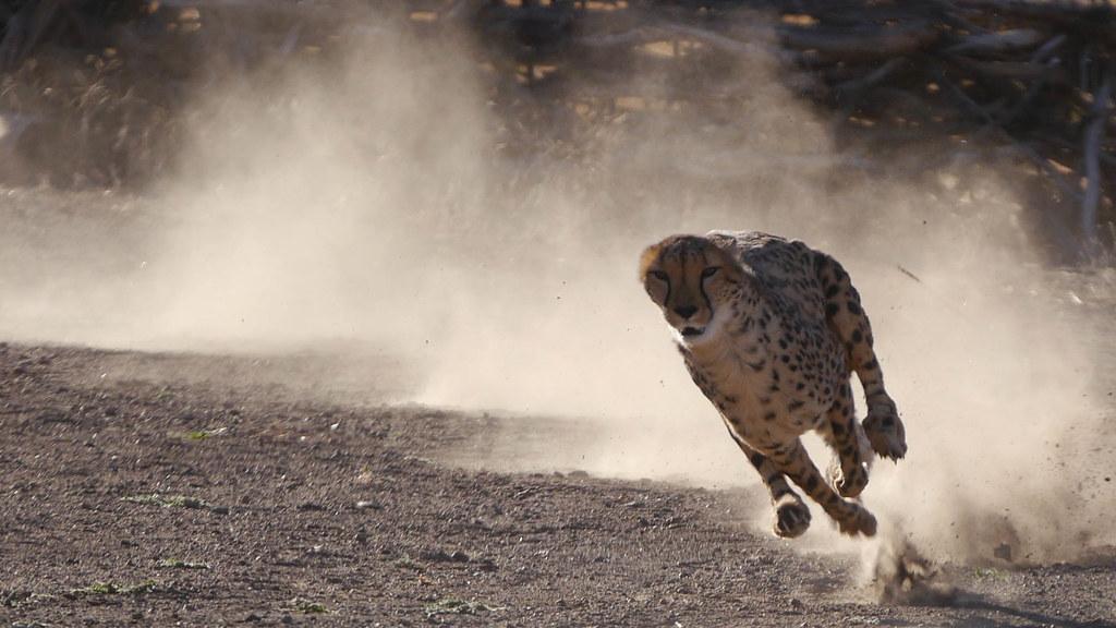 Animal Farm Wallpaper Wildlife Wednesday Cheetahs Flickr Blog