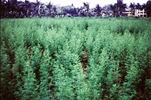 河內大學的農場在生產黃花蒿,1992。圖片提供:郭華仁