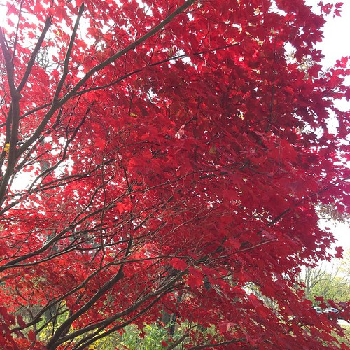 You guys. This tree!!!!!! #autumn #tree #red