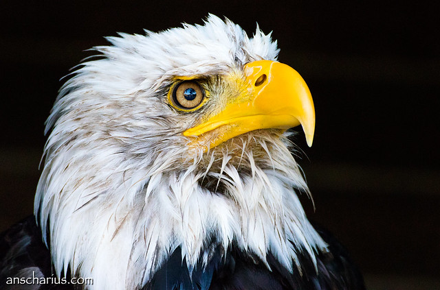 Fish Eagle Portrait - Nikon 1 V3 & AF-S VR 70-300mm