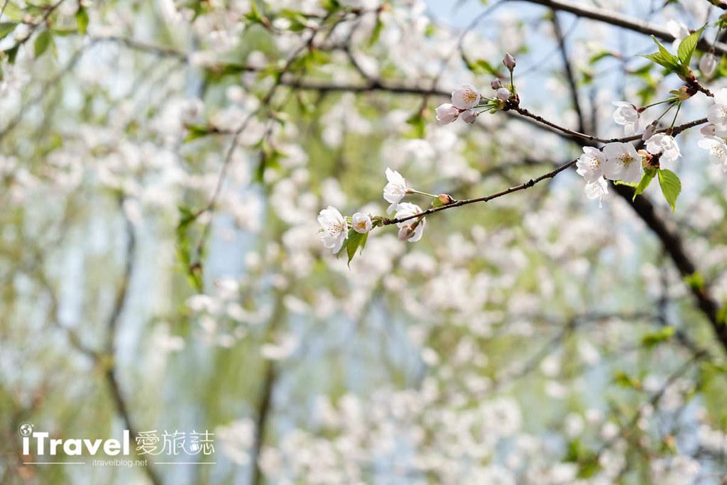 首尔赏樱景点 乐天塔石村湖 (10)