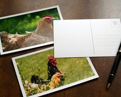 chicken postcards - set of 3