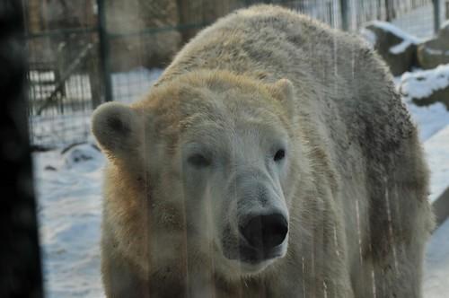 Eisbär Jelle im Dierenrijk in Nuenen