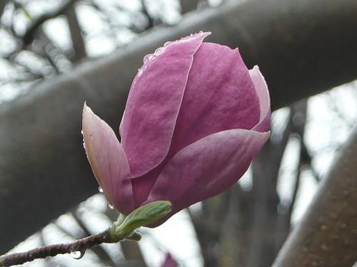 Magnolia with raindrops