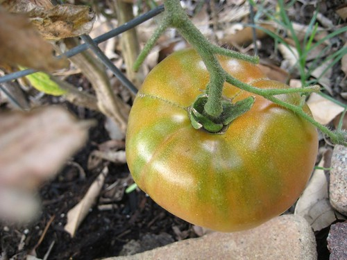fresh tomato...