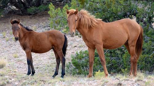 NM Wild Horses nwm (12)