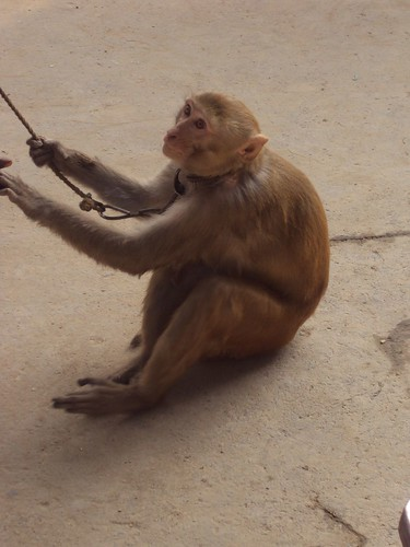 The Dancer Monkey