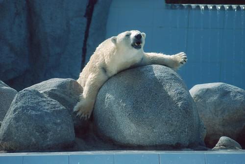 Eisbärin Tania im Zoo de La Palmyre