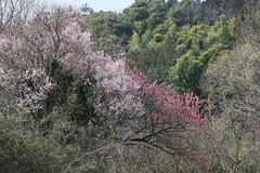 新治市民の森のモモ(at Niiharu civic forest, Japan)