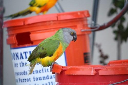 Alexandria - Macaw