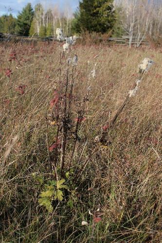 Thimbleweed, Anemone virginiana