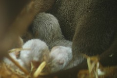 Kurzkrallenotterjungtiere im Zoo Parc de Beauval