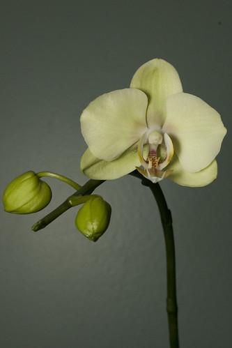 NOID Phalaenopsis