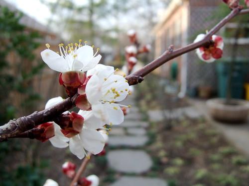 Dwarf Chinese apricot