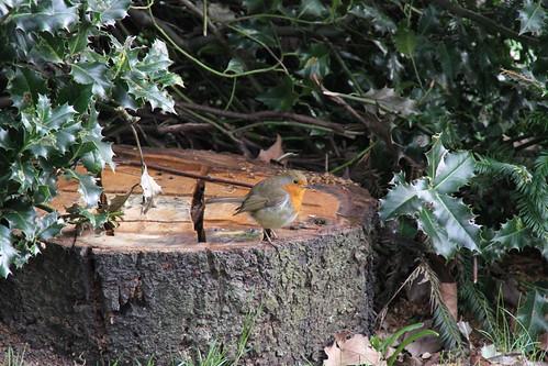 Robin pauses on tree stump