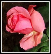 Rose et amour....rosa y amor ....rose d'amour ...