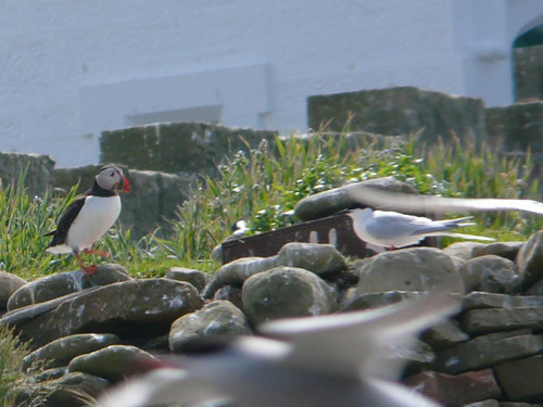 Puffin and Roseate Tern