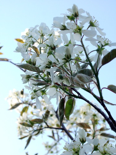 Amelanchier blossoms