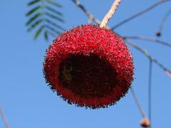 Parkia platycephala (= Parkia pendula) (João de Deus Medeiros) Tags: flor vermelha fabaceae Parkia platycephala parkiaplatycephala