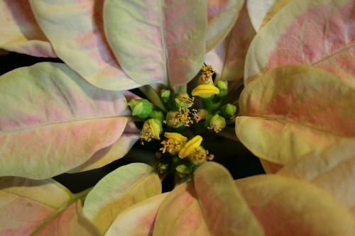 Poinsettia flowers and bracts