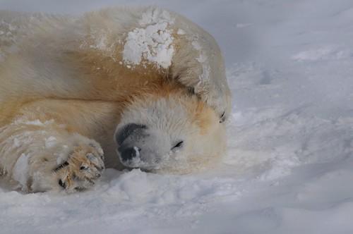 Eisbär Wilbär im Björnpark Orsa Grönklitt