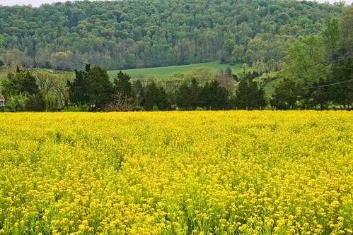 Fields of Yellow and Green
