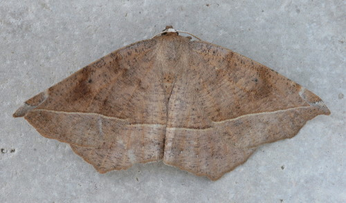 6966 - Eutrapela clemataria - Curve-toothed Geometer (2)