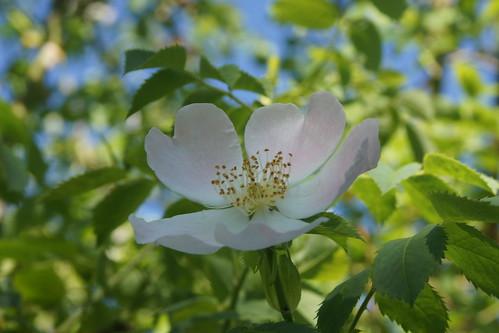 Wild Rose #2