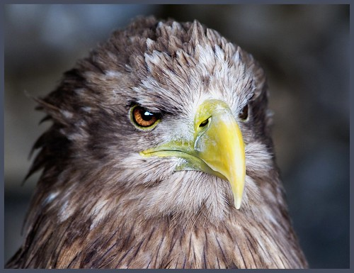 White tailed sea eagle close up. by hawkgenes.