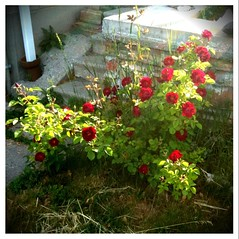 Roses in front of my house