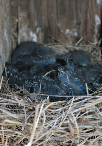 Bluebird chicks in nest