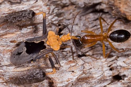 Ptilocnemus lemur - the ant assassin