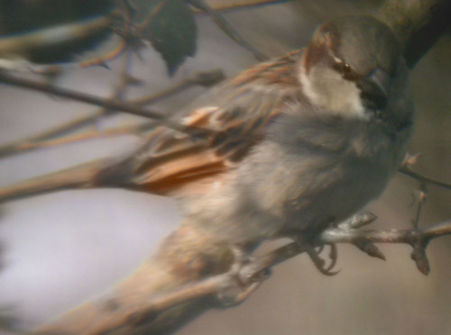 Distant sparrow
