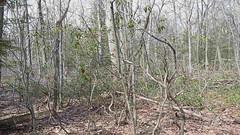 wood frogs croaks
