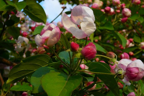 The cycle of apple blossoms