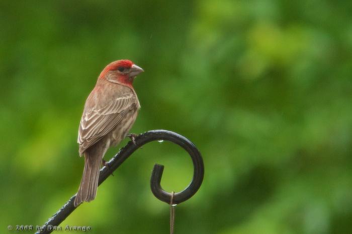 Juvenile Cardinal II