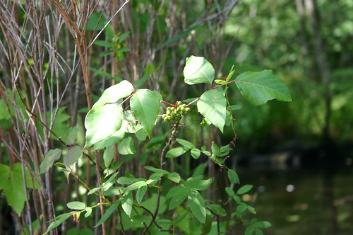 Paddling Perquiman County Blueway - Poison Ivy Berries