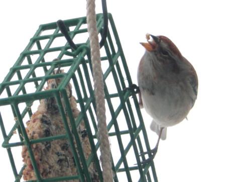 American Tree Sparrow at suet