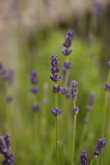 lavender corner