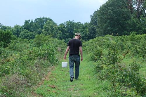 Berry Picking at Jones Orchard, Millington, Tenn.