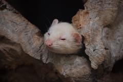 Frettchen im Parc animalier de Gramat